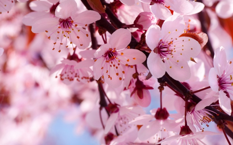 Spring-flowers-in-full-bloom-pink-cherry-blossoms_2560x1600